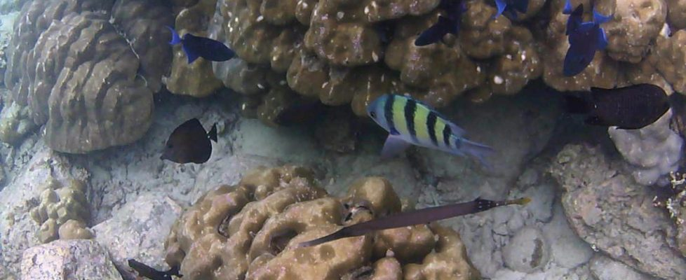 Trompetenfisch, Moorish Idol, Redtooth Triggerfish...
