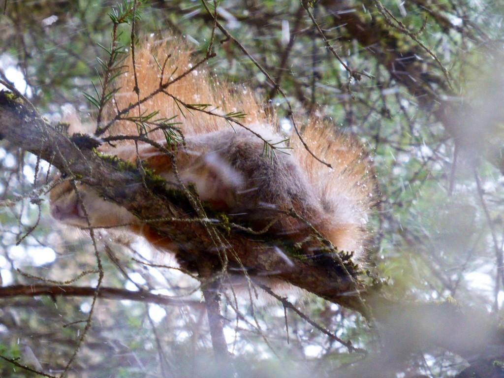 Sibirisches Eichhörnchen :-)