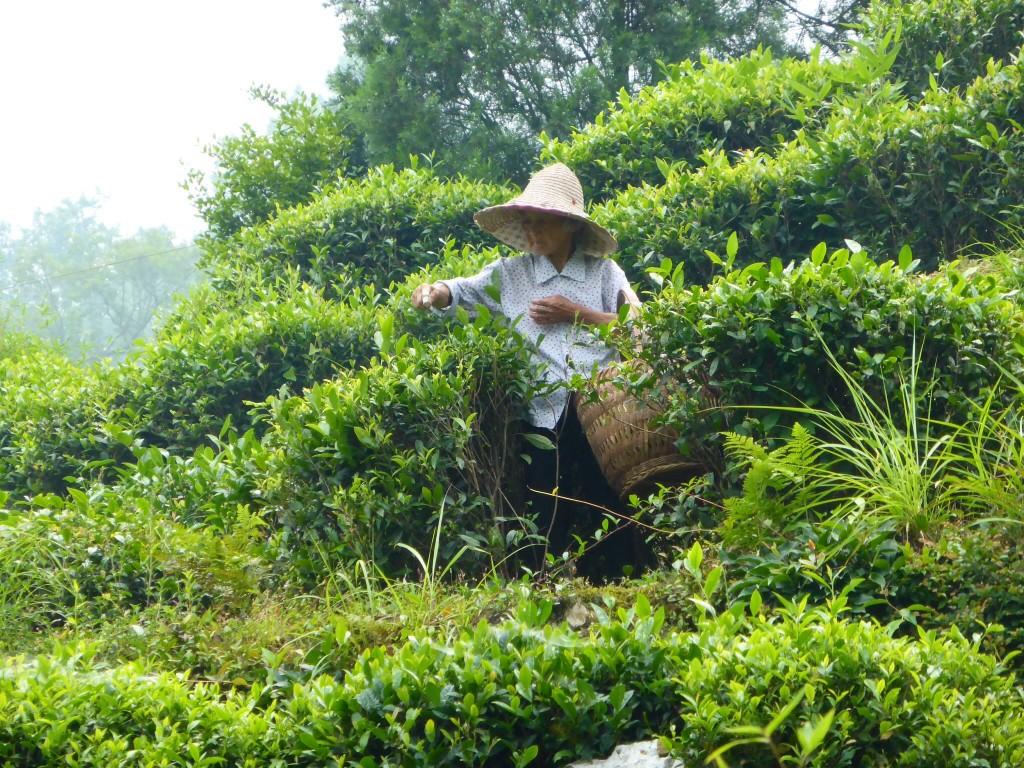 Teeblätterpflückerin in Guankeng