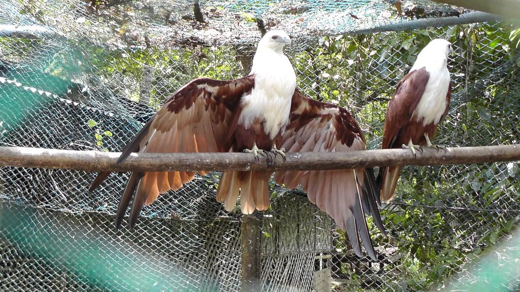 2 Weißkopfseeadler