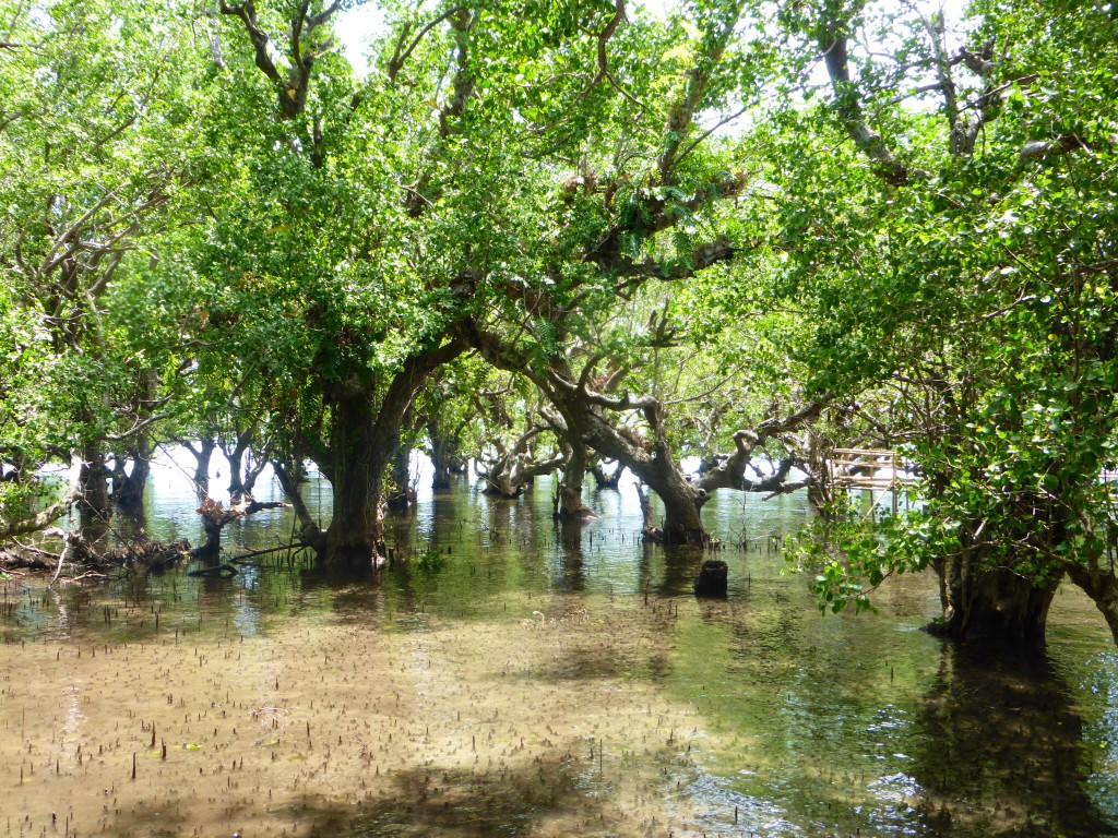 Mangrovenwald auf Camiguin