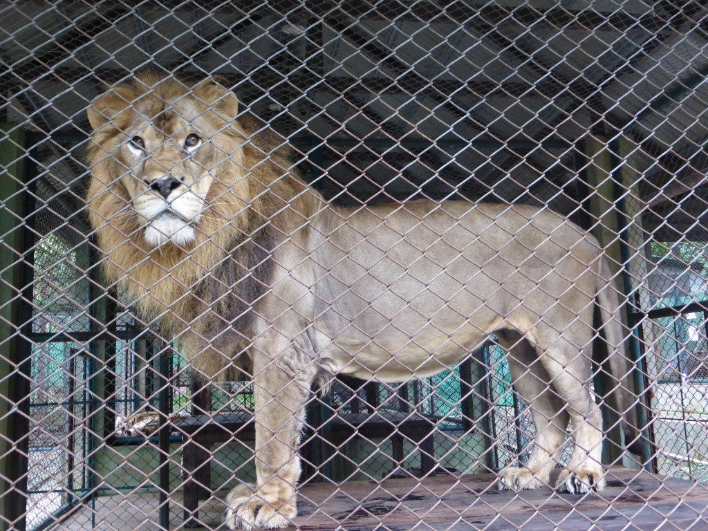 Der König des Dschungels - leider hinter Gittern :(