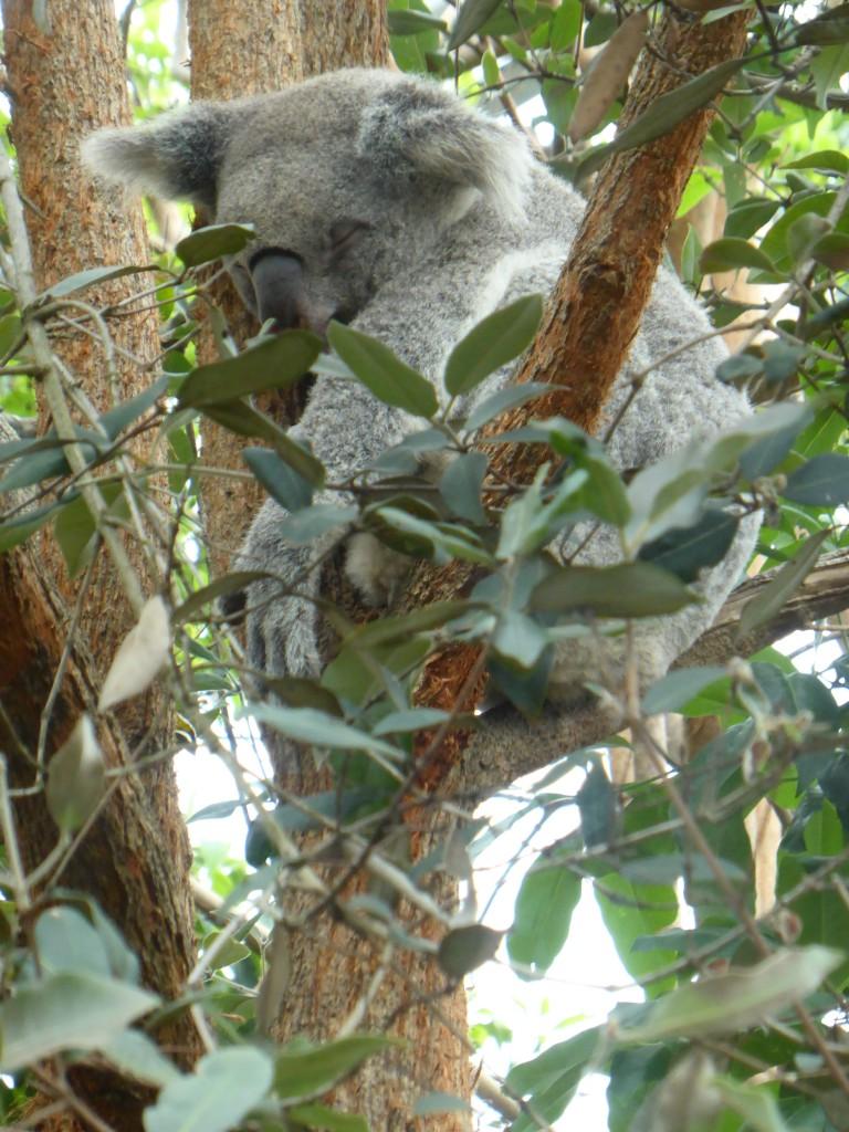 Koala bei seiner Liebnlingsbeschaeftigung
