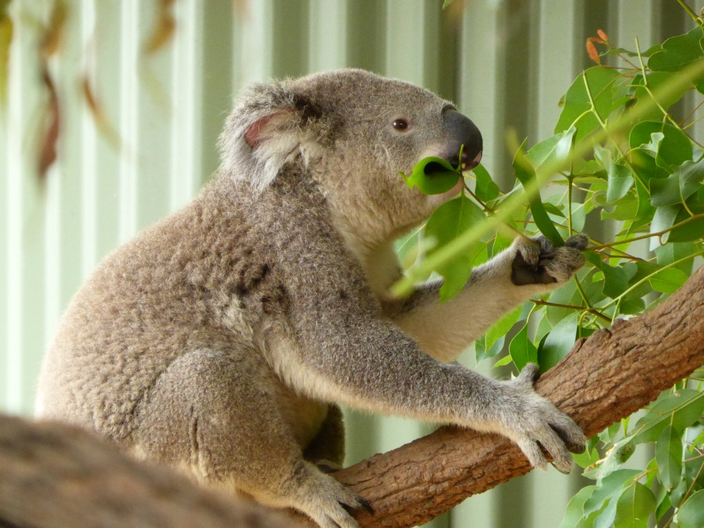 Koala_Port Macquarie