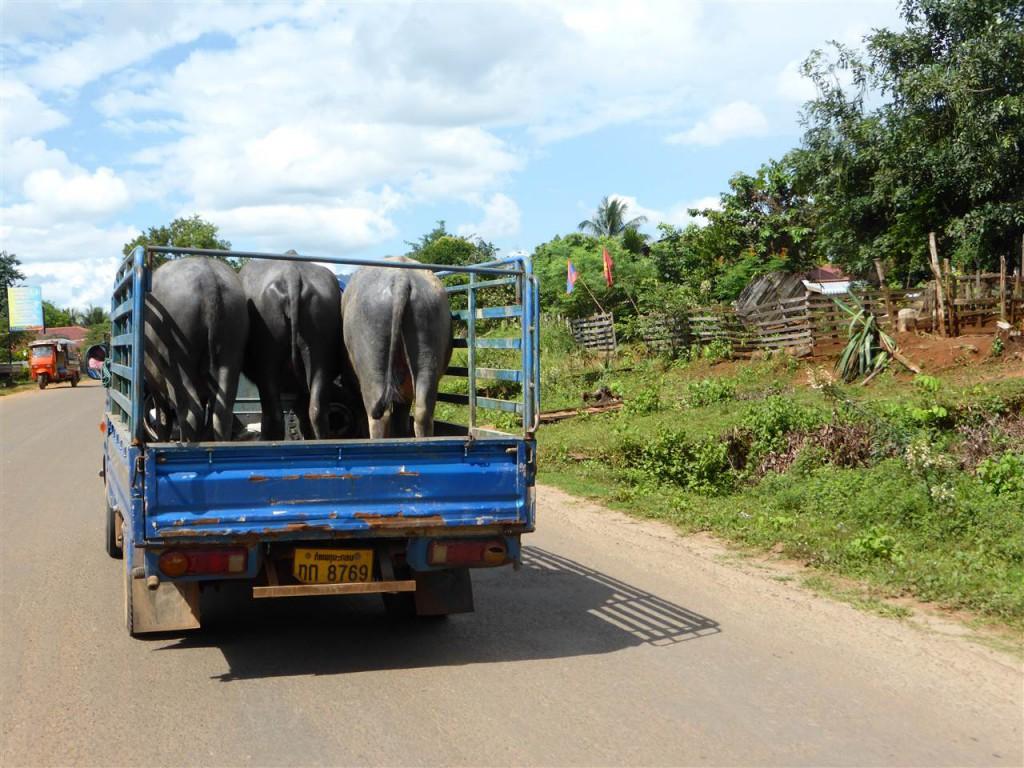 Und asiatischer Tiertransport