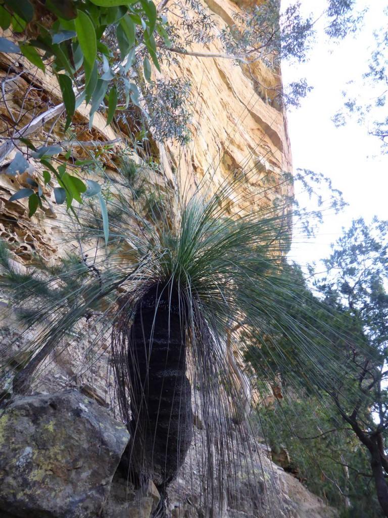 Ein Grasbaum (heißt echt so)
