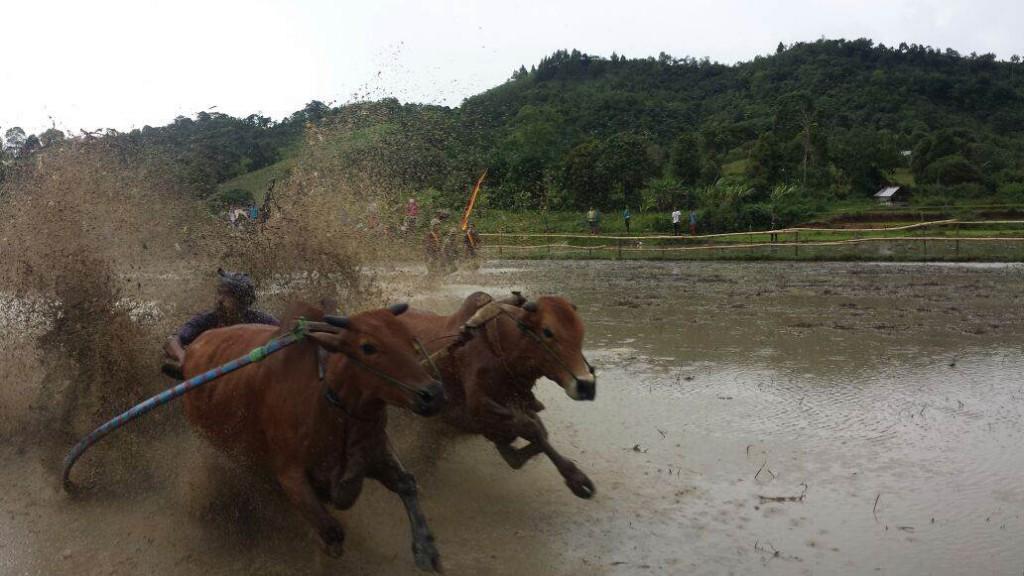 Büffelrennen