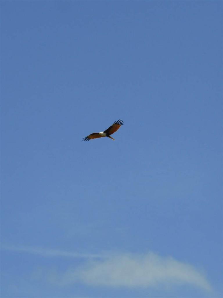 Eleganter Weisskopfseeadler