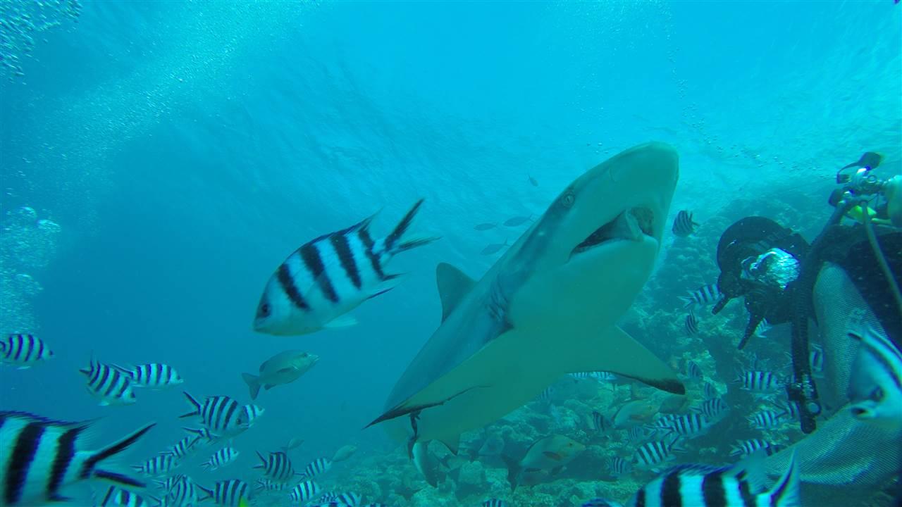 Hai-Tauchen auf Fiji! Ultimativ bombastisch!