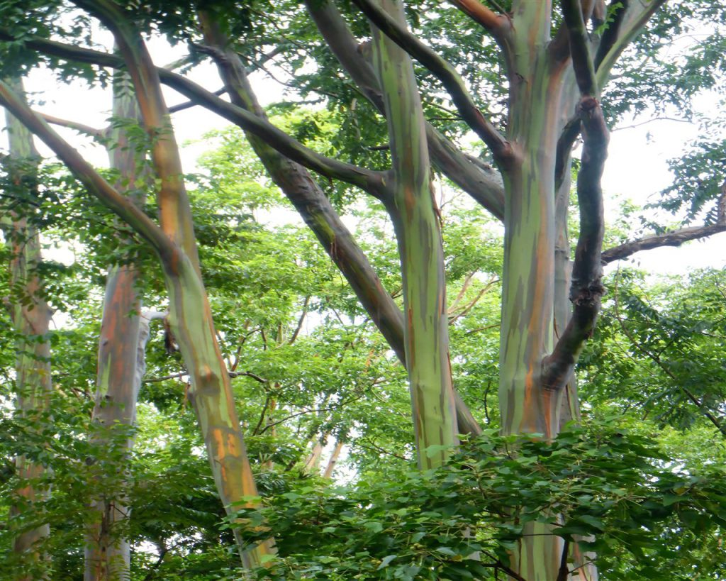 Eykalyptusbäume mit besonders hübschen Rinden