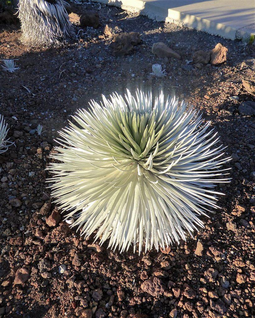 Silversword- nirgends sonst auf der Welt wächst diese elegante Pflanze