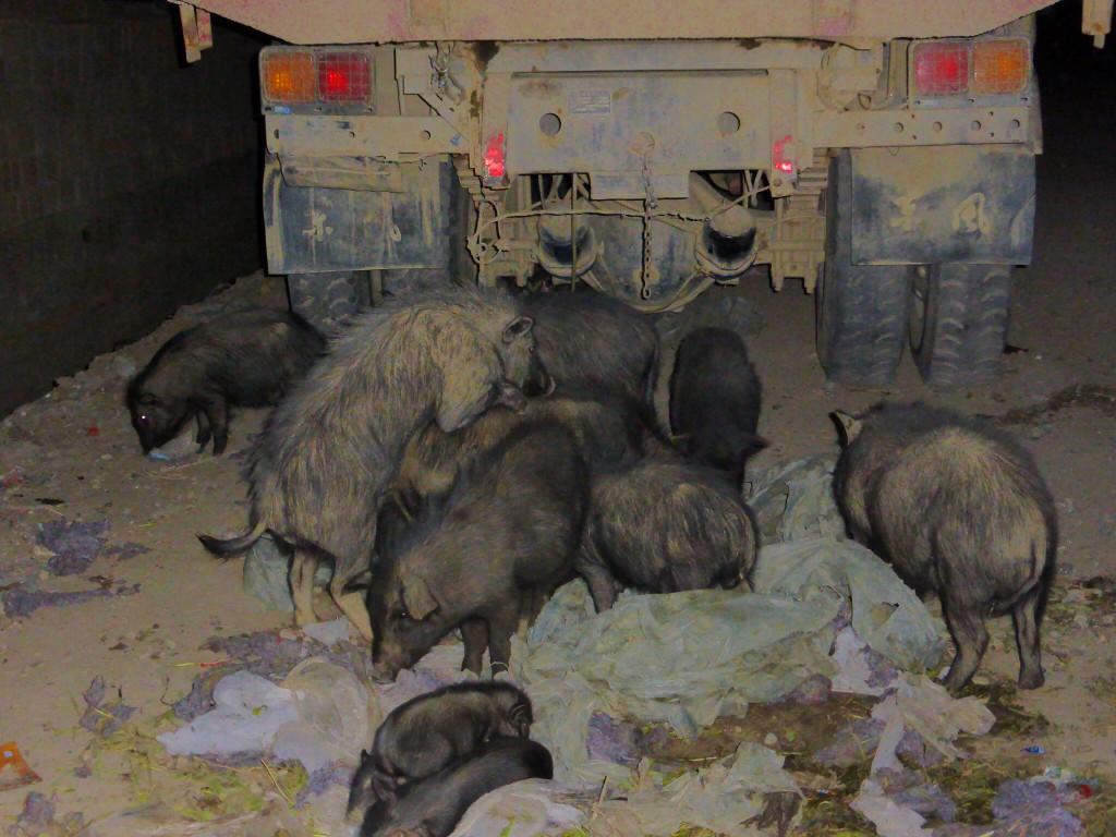 Wildschweine finden sich nicht nur unter Hecken