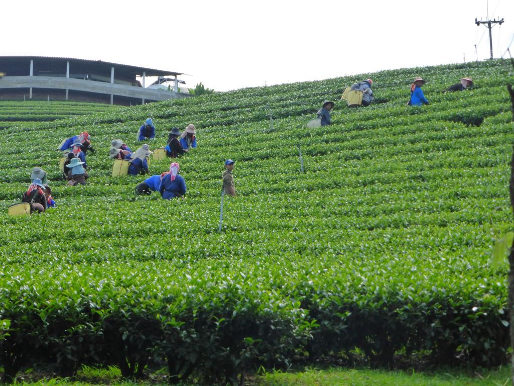 Teeernte bei Mae Salong
