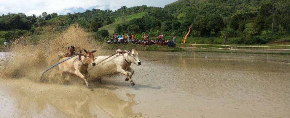 Beim Büffelrennen