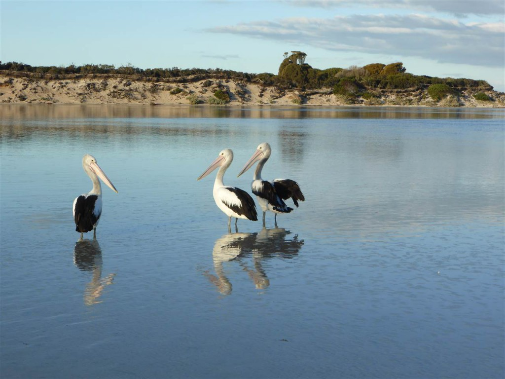 Pelikane beim Plausch